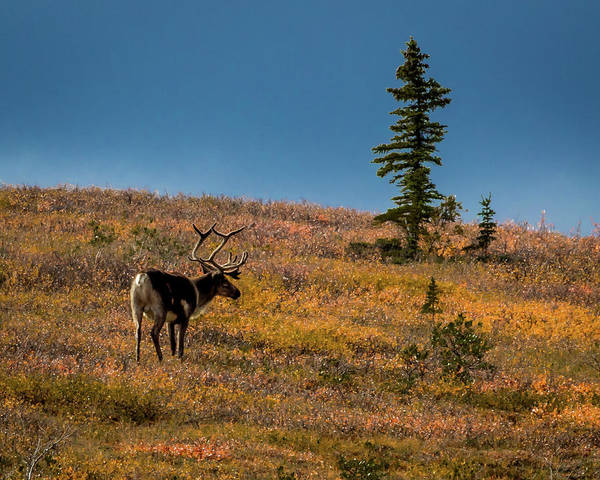 Wall Art - Photograph - Bull Caribou Feeding On Tundra by Panoramic Images
