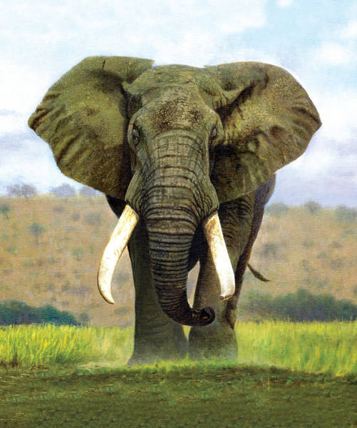 African Elephant Photograph - Bull Elephant by MGL Meiklejohn Graphics Licensing