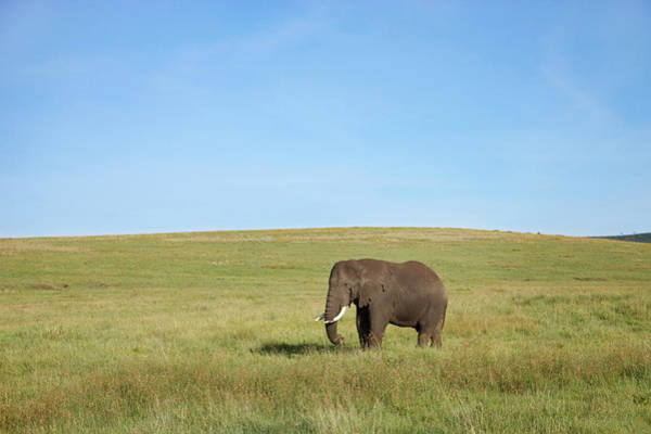 Urban Wildlife Photograph - Bull Elephant by Paul E Tessier