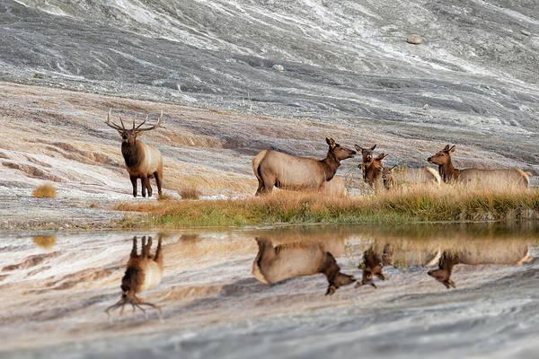 Elk Herd Photograph - Bull Elk And Herd Of Females by Adam Jones