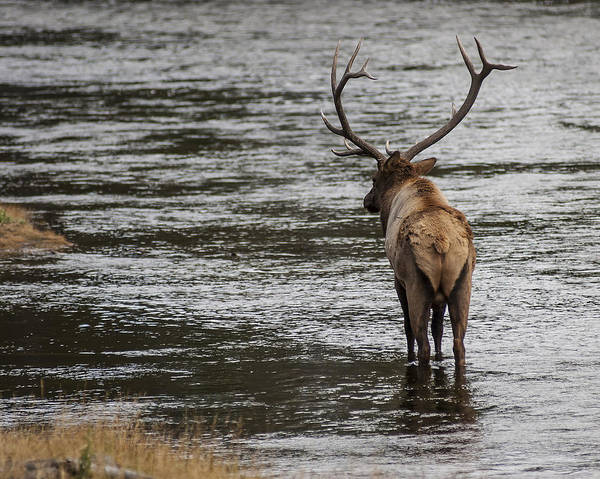 Photograph - Bull Elk In The Madison River 1 by Lee Kirchhevel