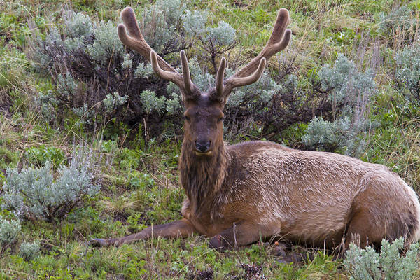 Photograph - Bull Elk by Jack R Perry