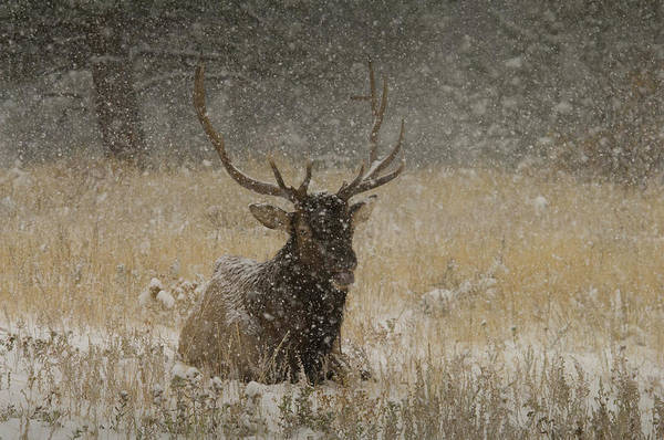 Wapiti Photograph - Bull Elk Lying Down During Snowstorm by Animal Images
