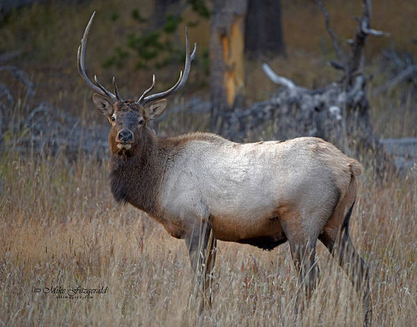 Photograph - Bull Elk by Mike Fitzgerald