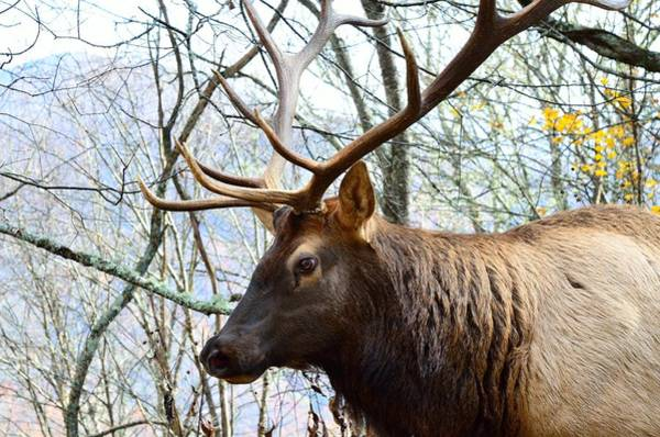Photograph - Bull Elk by Walt Sterneman