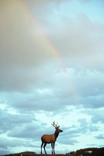 Wapiti Photograph - Bull Elk With Rainbow Overhead by Animal Images