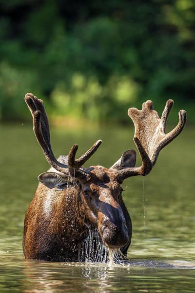 Bull Moose Photograph - Bull Moose Feeding In Backcountry Lake by Chuck Haney