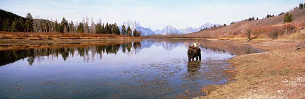 Bull Moose Photograph - Bull Moose Grand Teton National Park Wy by Panoramic Images