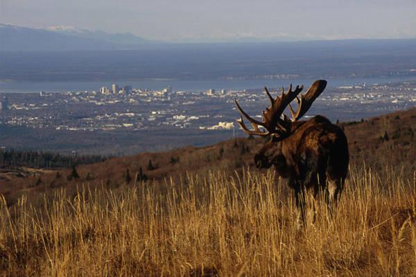Bull Moose Grazing & Resting On Art Print