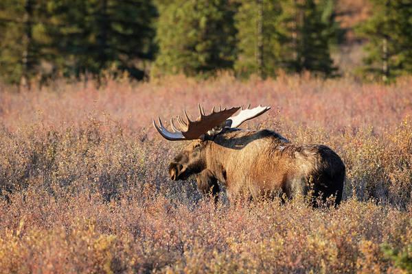 Bull Moose In Autumn Foliage, Denali Art Print