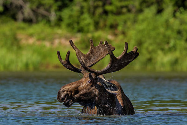 Bull Moose Photograph - Bull Moose In Backcountry Lake by Chuck Haney