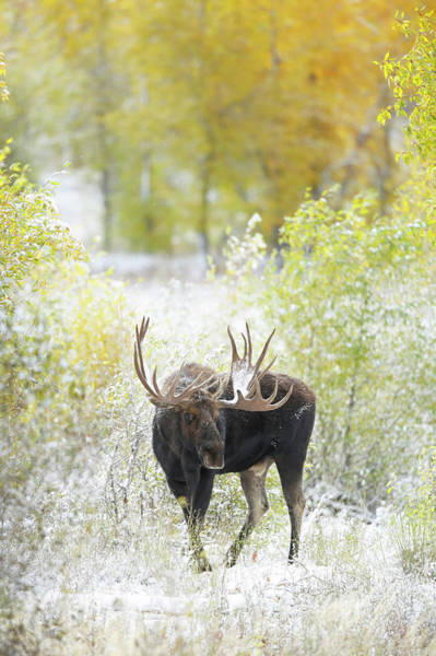 Rack Photograph - Bull Moose by Paul E Tessier