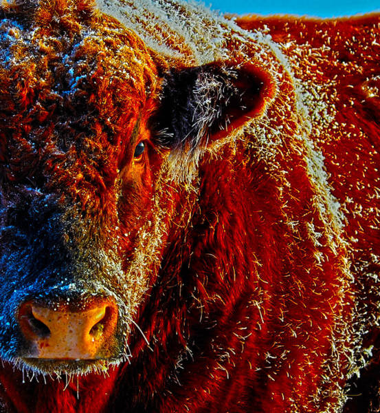 Bull On Ice Art Print