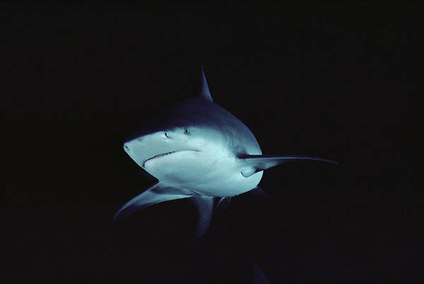 Carcharhinidae Photograph - Bull Shark Portrait North America by Flip Nicklin