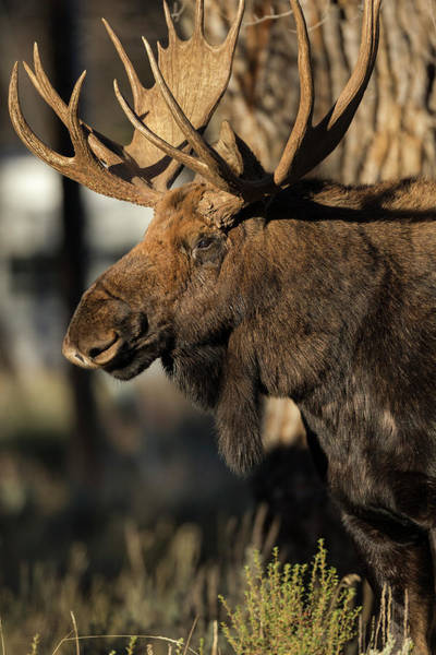 Alces Alces Photograph - Bull Shiras Moose In Campground, Alces by Maresa Pryor