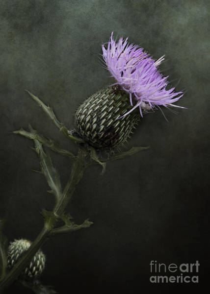 Photograph - Bull Thistle Bloom by Pam  Holdsworth