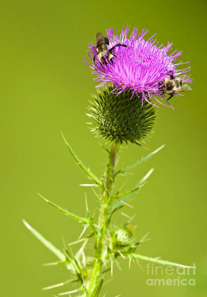 Wall Art - Photograph - Bull Thistle by Roger Bailey
