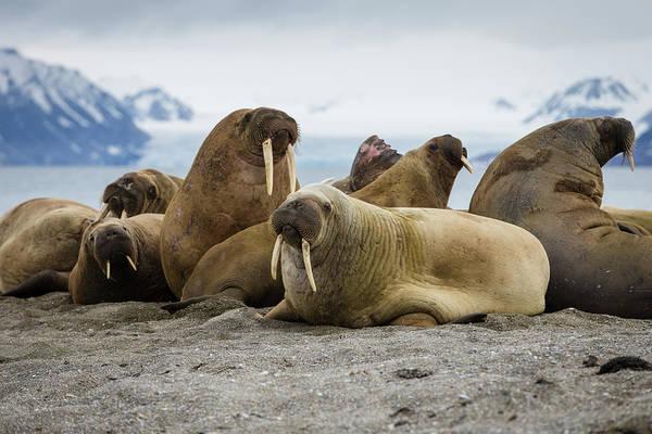 Bulls Island Photograph - Bull Walrus Group by Peter Orr Photography