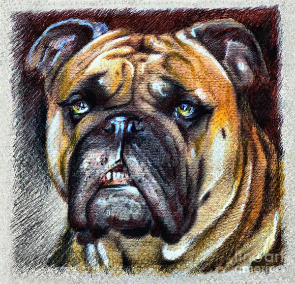 Drawing - Bulldog by Daliana Pacuraru