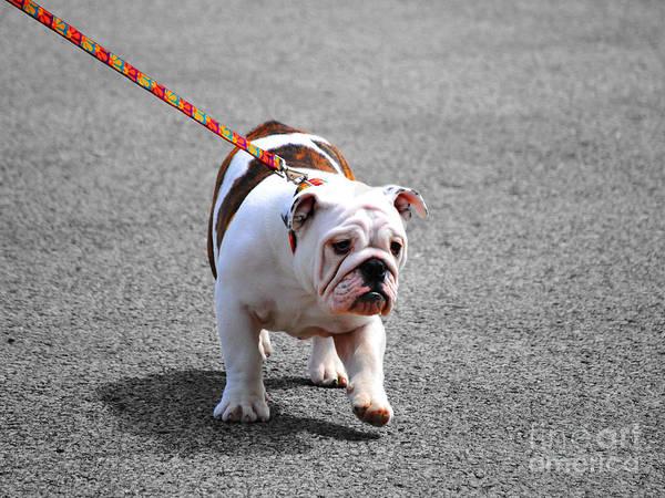 Photograph - Bulldog Puppy I by Jai Johnson
