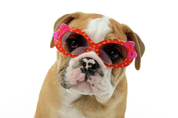 Sunglasses Painting - Bulldog Puppy Sunglasses by MGL Meiklejohn Graphics Licensing