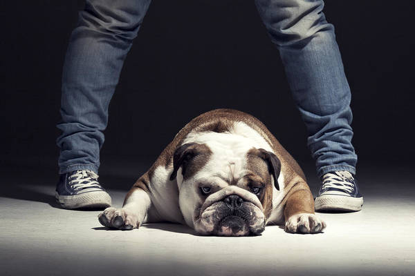 English Photograph - Bulldog by Samuel Whitton