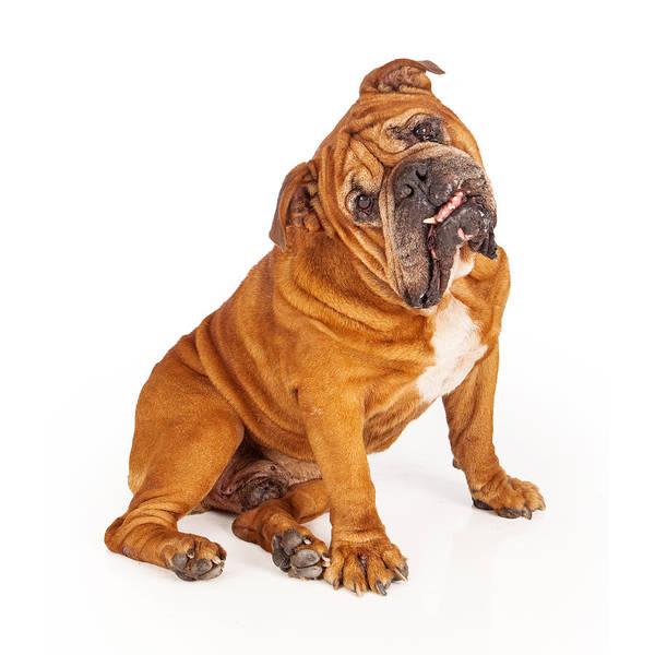 Sitting Bull Photograph - Bulldog Sitting With Tilted Head by Susan Schmitz
