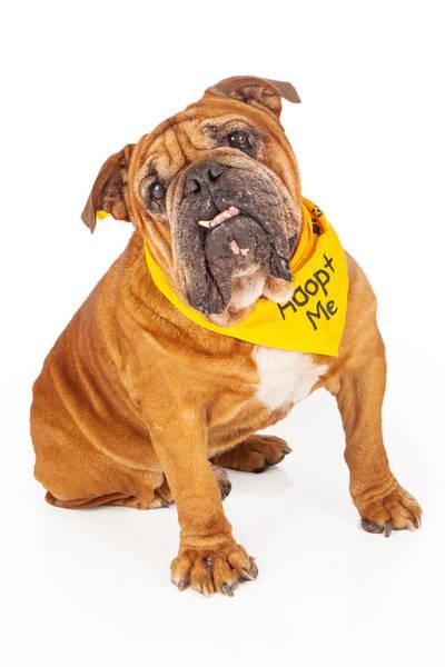 Big Dog Photograph - Bulldog Wearing Adopt Me Bandana by Susan Schmitz