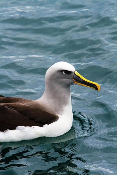 Bulls Island Photograph - Buller's Albatross (thalassarche Bulleri by Micah Wright
