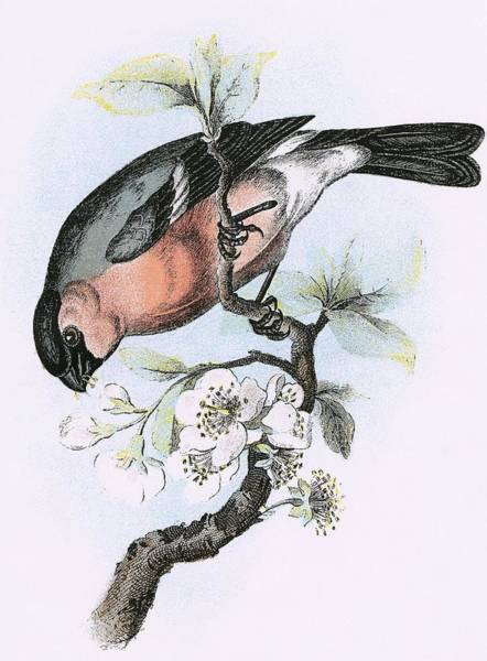 Ornithology Photograph - Bullfinch by English School