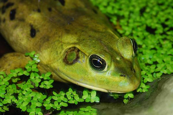 Photograph - Bullfrog by Larah McElroy