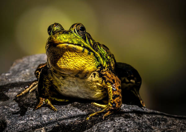 Bullfrog Photograph - Bullfrog Watching by Bob Orsillo