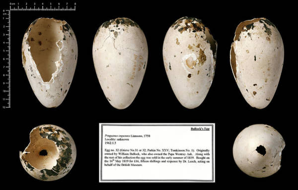 Chordate Photograph - Bullock's Great Auk Egg by Natural History Museum, London