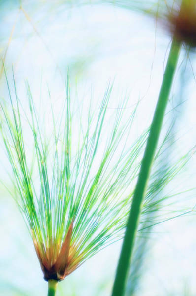 Perennial Photograph - Bulrush (cyperus Papyrus) by Maria Mosolova/science Photo Library