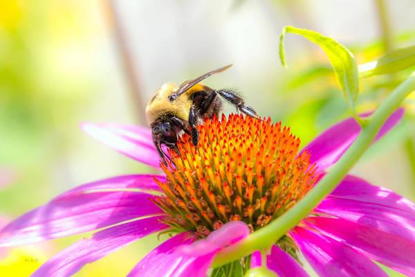 Wall Art - Photograph - Bumble Bee by Bob Orsillo