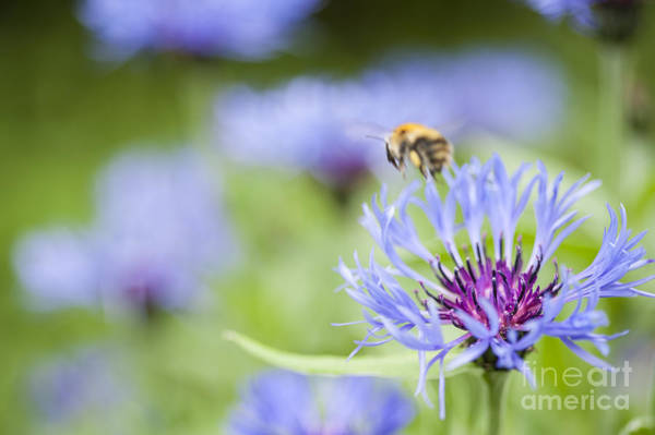 Wall Art - Photograph - Bumble Bee by Donald Davis