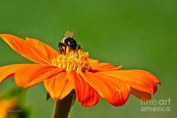 Photograph - Bumble Bee IIi by Ms Judi