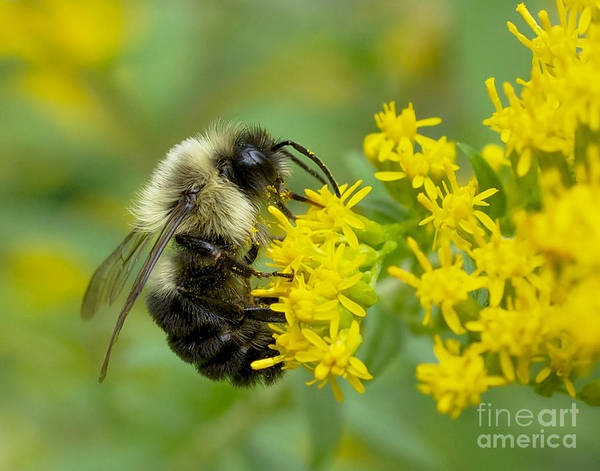 Photograph - Bumble Bee by Mark Miller