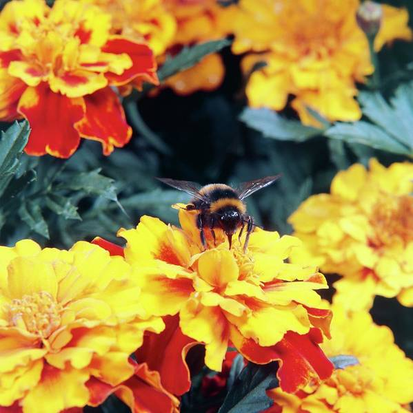 Bee On Flower Wall Art - Photograph - Bumble Bee Pollinating Marigold Flower by Science Photo Library