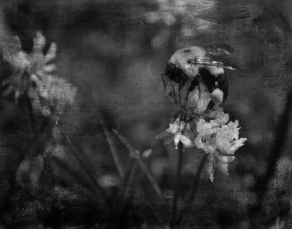 Photograph - Bumble Bee Serenade Nbr 3 - Bw by Lesa Fine