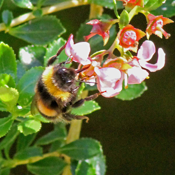 Photograph - Bumble Bee by Tony Murtagh