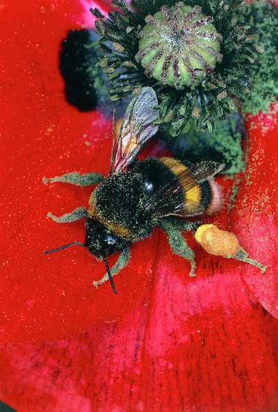 Pollination Photograph - Bumblebee Collecting Pollen From Poppy by Dr Jeremy Burgess/science Photo Library