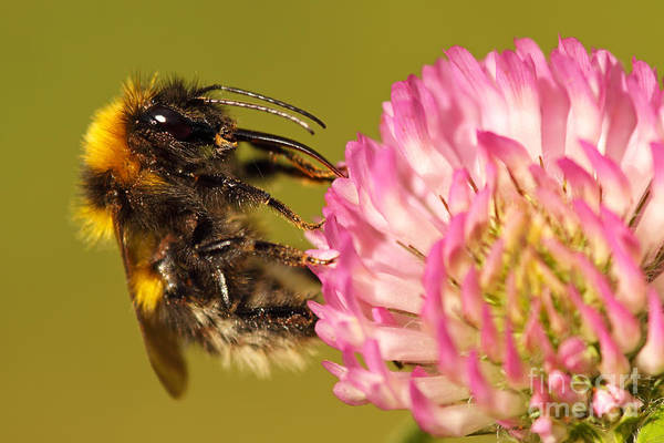 Wall Art - Photograph - Bumblebee Feeding On Clover by Max Allen
