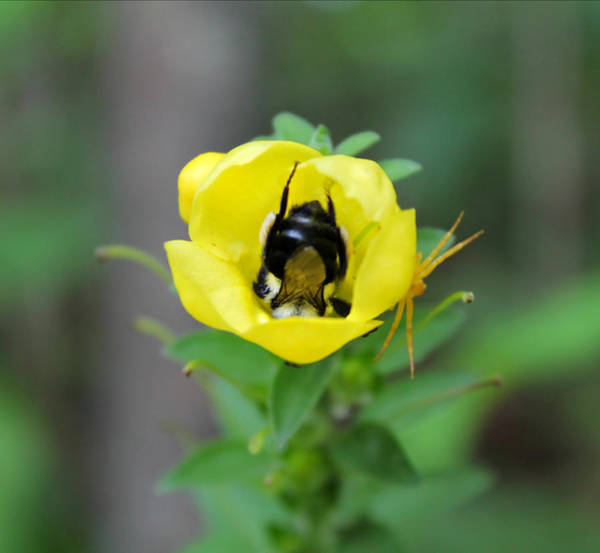 Photograph - Bumblebee Flower by Candice Trimble