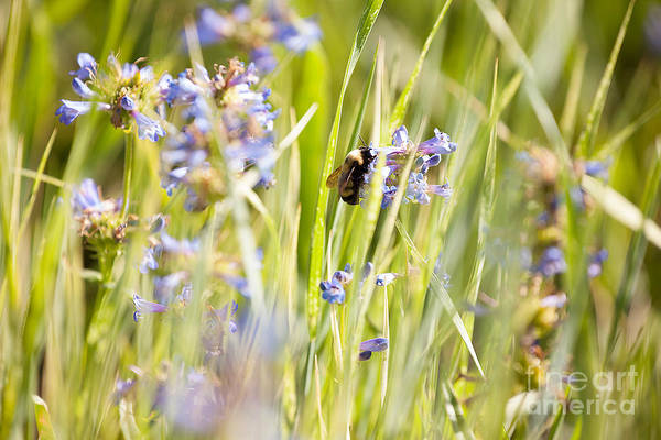 Photograph - Bumblebee On Blue Wildflowers by Cindy Singleton