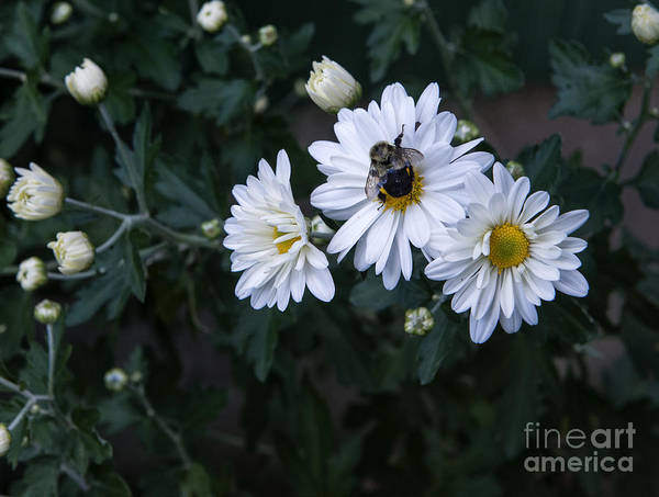 Photograph - Bumblebee On Daisy by Louise St Romain