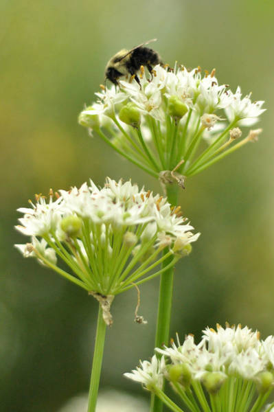 Photograph - Bumblebee On Garlic Chives by Rebecca Sherman