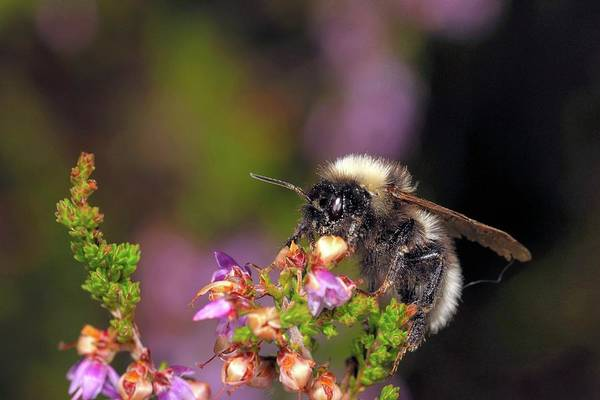 Pollinator Wall Art - Photograph - Bumblebee On Heather by Heiti Paves