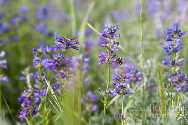 Photograph - Bumblebee On Purple Wildflowers by Cindy Singleton