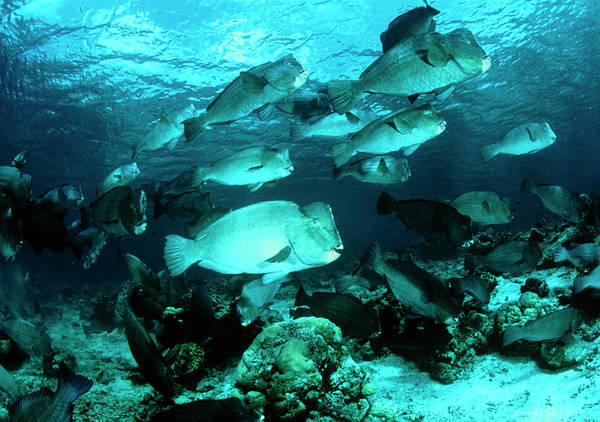 Wall Art - Photograph - Bumphead Parrotfish by Matthew Oldfield/science Photo Library